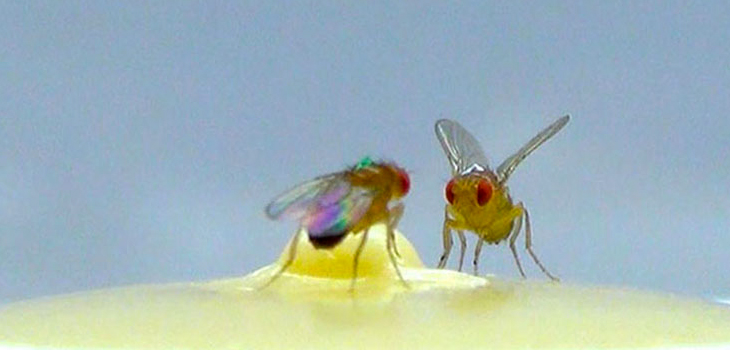 Fruit Fly Aggression