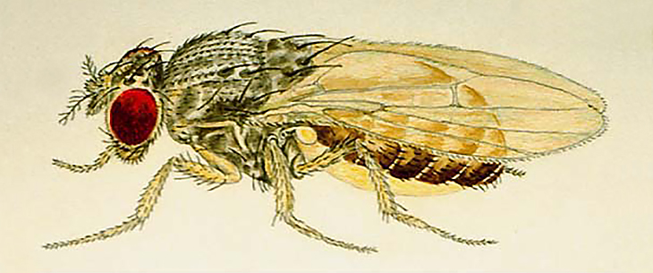 Fruit Fly Illustration