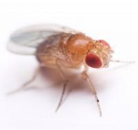 Fascinating Fruit Flies